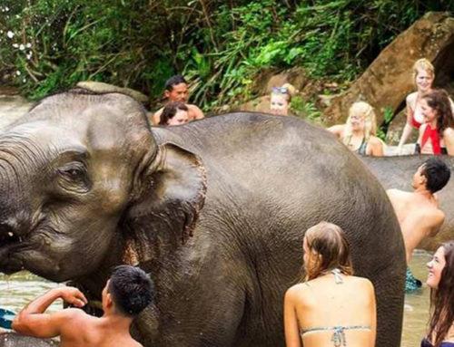 elephant jungle sanctuary Phuket Afternoon Visit